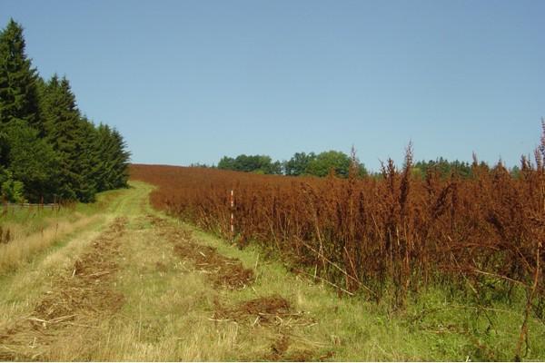 Porost při sklizni (10.7.06) v sedmém roce vegetace, od třetího roku pravidelně provzdušňován lehkým diskováním