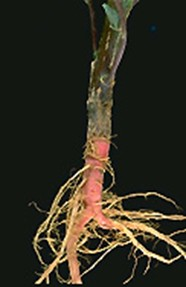 Rastlina Amaranthus caudatus - kořen