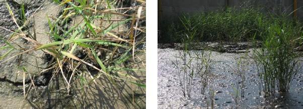 Rostliny aktivně napomáhají tvorbě struktury půdního substrátu a místy vytváří pevné kolonie rákosu