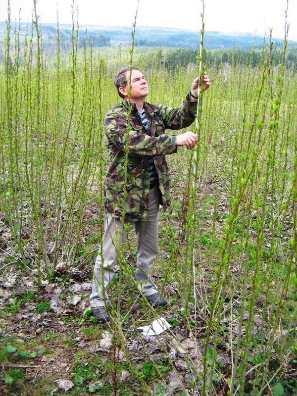 Ekonomika produkce štěpky z topolů byly hodnocena na plantáži Chlumská hora