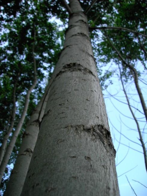 Kmen pětiletého stromu