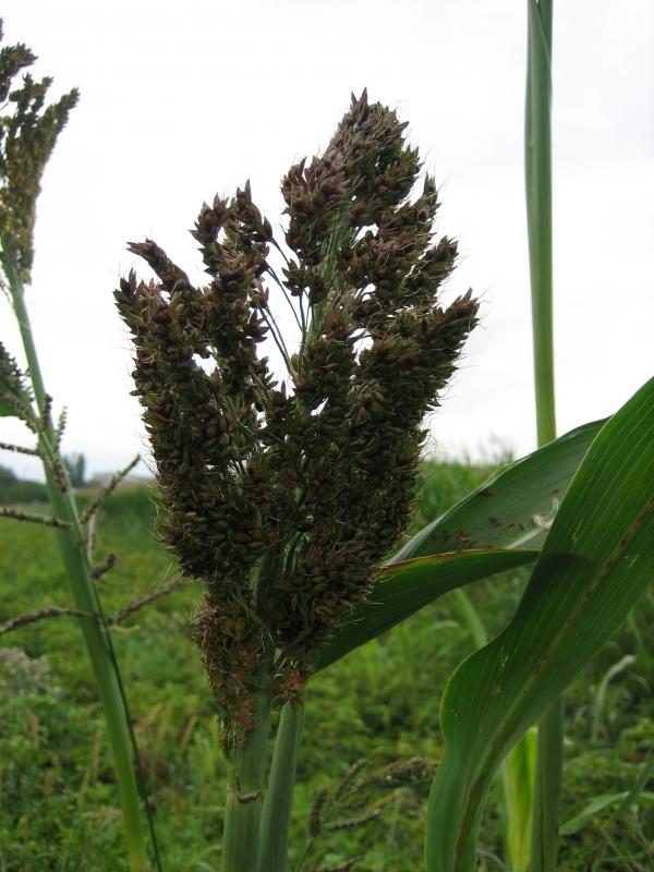 Na Mendelově univerzitě v Brně byly pro výrobu bioplynu testovány i tři odrůdy čiroku