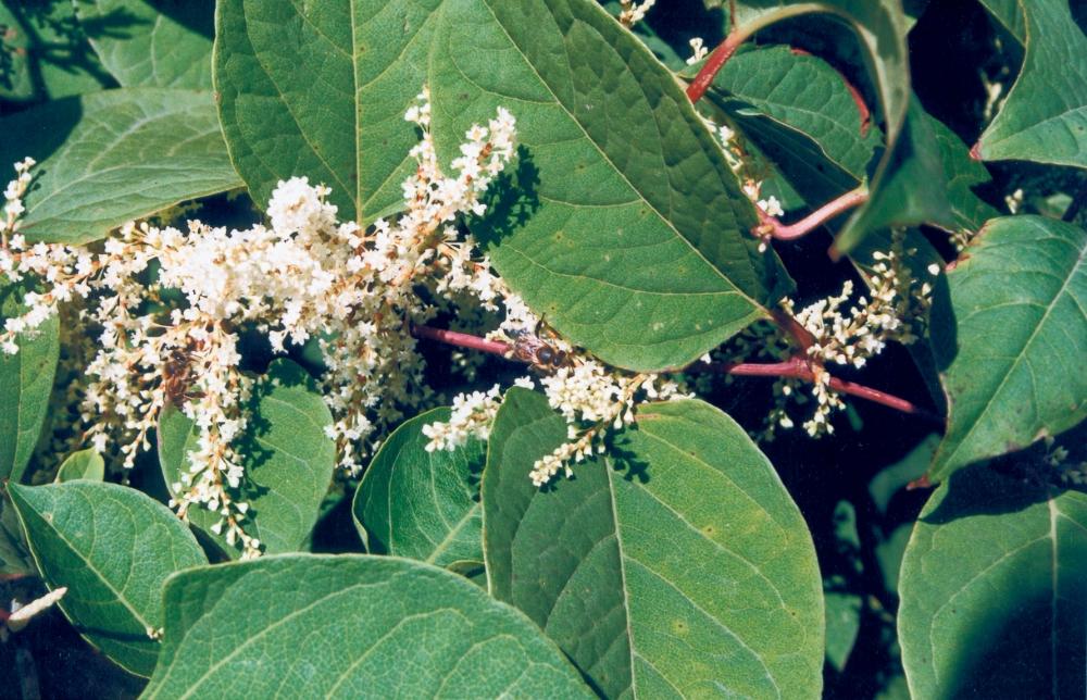 Křídlatka kvete od září do října, ale semena někdy nedozrají