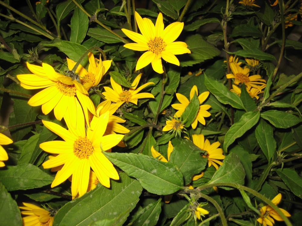 Žluté květy zdobí mnohé zahrádky