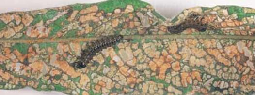 Beatle larva