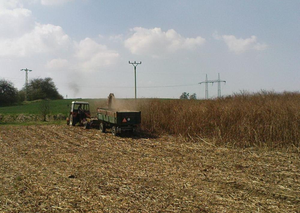 Počínaje druhým rokem se může použít mechanizace na sklizeň kukuřice