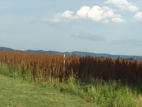 Krmný šťovík založený na kvalitní půdě, správně ošetřovaný, ve druhém roce vegetace