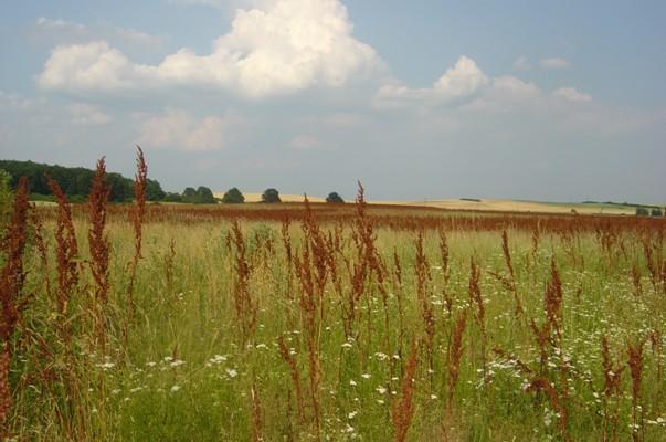 Porost krmného šťovíku ve třetím roce vegetace (podmáčená půda)