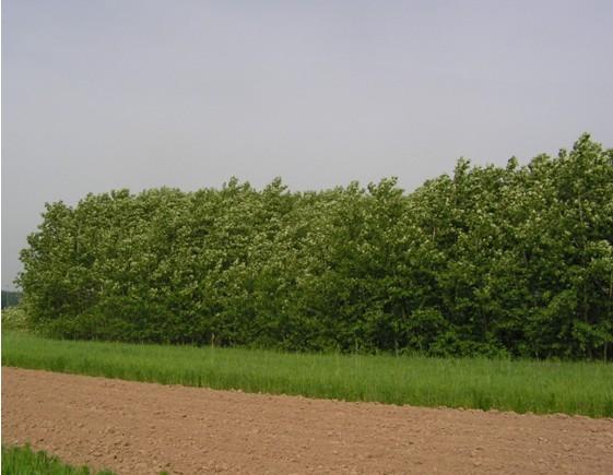 Topolová plantáž jako ochranný pás v produkční oblast