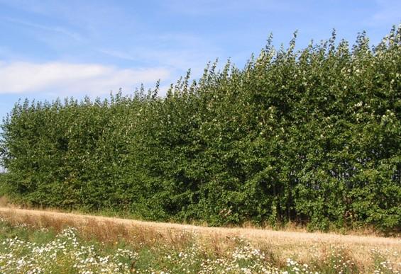 Topolové plantáže jako protihlukové zástěny