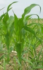 Porost kukuřice