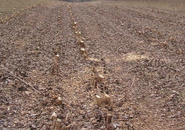Plantáž bezprostředně po těžbě a zpracování stromů