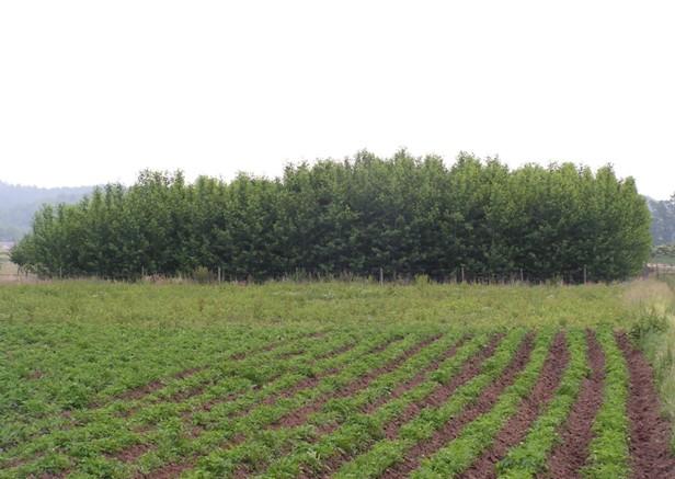 Výška stromů závisí na poloze plantáže z hlediska směru slunečního svitu