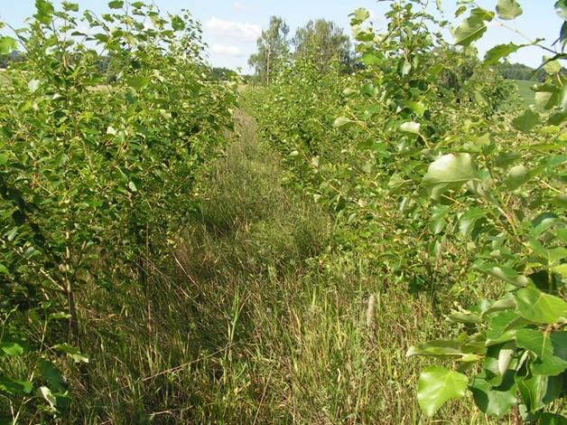 Chybná likvidace plevelů v prvních dvou letech sníží výnos, případně oddálí první těžbu
