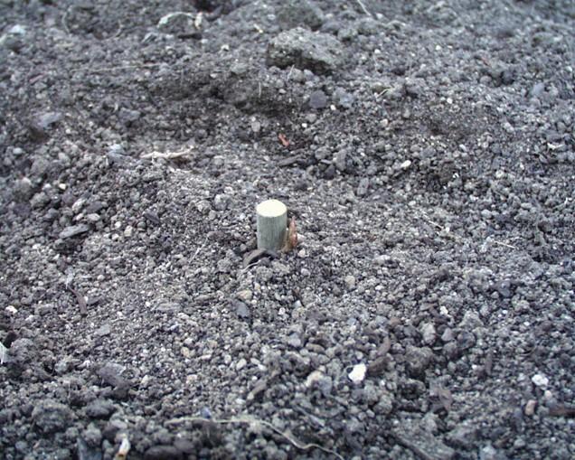 Vrcholový pupen vyčnívá nad povrch půdy