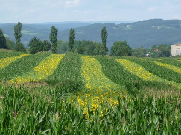 Silážní kukuřice, která je mimochodem velmi vhodnou plodinou pro výrobu bioplynu má v sobě energii, která dokáže v přepočtu vyrobit  460 kW/tuny silážované hmoty o TS 33%. Podíl methanu v bioplynu z této plodiny je cca 54 %.