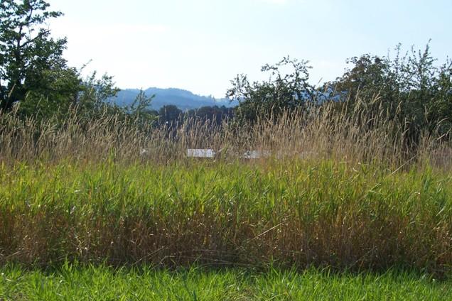 """Ve výzkumné stanici v Zubří byla vyšlechtěna odrůda lesknice rákosovité """"Chrastava"""" vhodná i pro energetické účely"""
