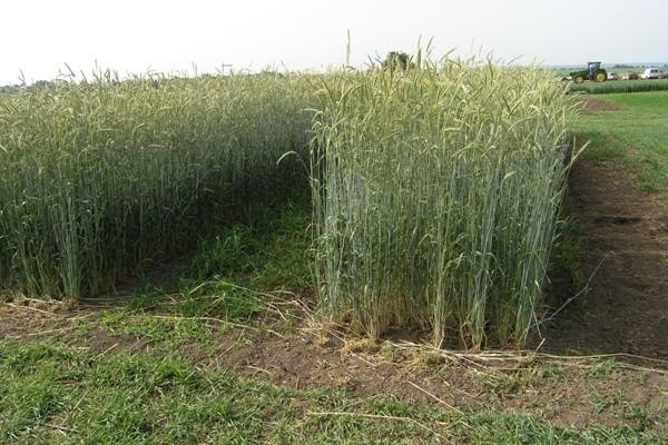 Žito svatojánské – u žita lesního činil průměrný roční výnos  slámy v hodnocení třech užitkových let 12,1 t/ha