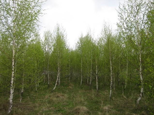 Pro lesnickou rekultivaci jsou vhodné například i břízy