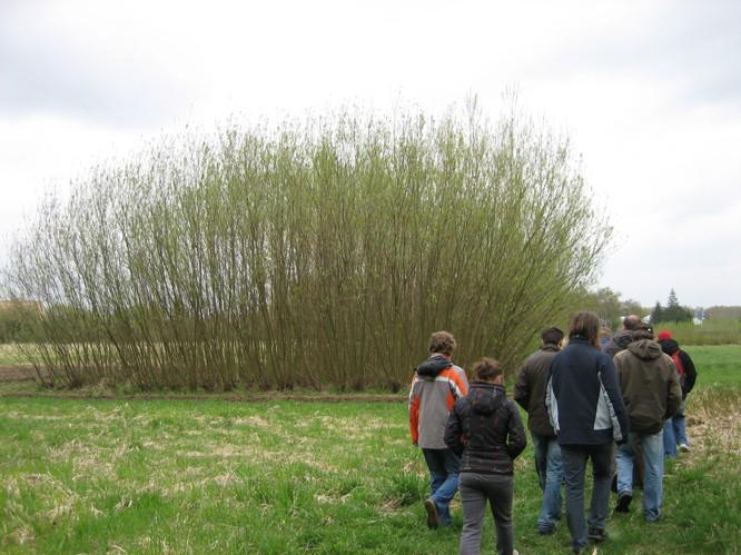 Vrby a topoly se zpravidla sklízejí po pěti letech pěstování