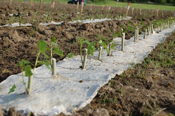 Založená plantáž rychlerostoucích dřevin s použitím mulčovací rohože k zamezení růstu plevelů