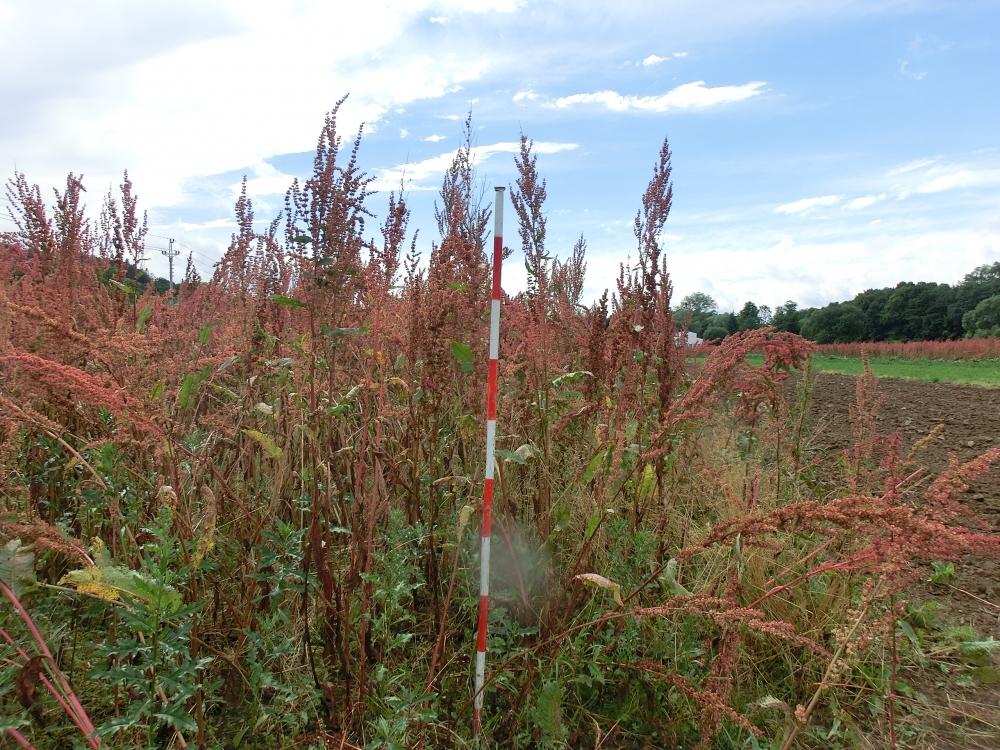 Zralý šťovík před sklizní na suchou hmotu v druhém roce vegetace (2013)