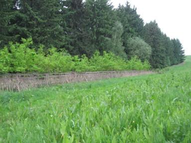 Porost Rumexu OK 2, 12.5.2012 -v pozadí oplocenka na ploše č. 3