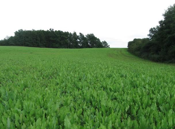 Šťovík v prvém roce vegetace, foto dne 8.8.2011
