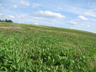 Stav porostu  krmného šťovíku  sklizeného 30.6., foto dne 25.8.2011