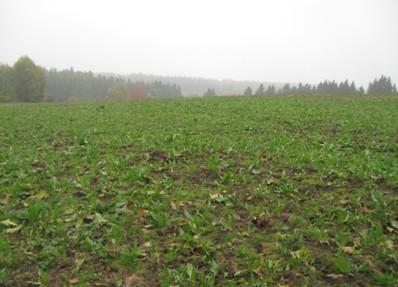 Orůstání porostu Rumexu OK 2 po diskování v září 2011, foto - 25.10.2011
