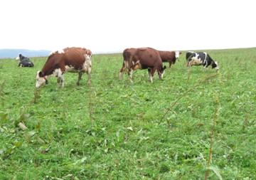 Podzimní pastva na šťovíkovém porostu, Králíky 2011