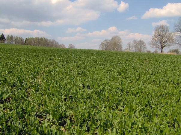 Porost krmného šťovíku  24. 4. 2010