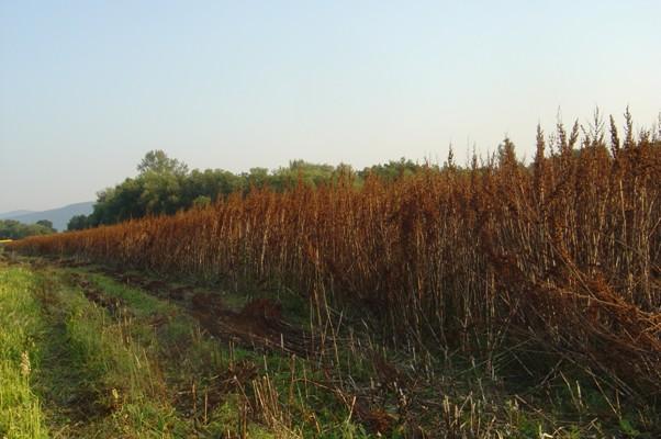 Porost šťovíku před sklizní začátkem července