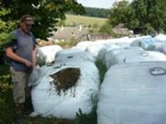 Senáž krmného šťovíku pro dojnice