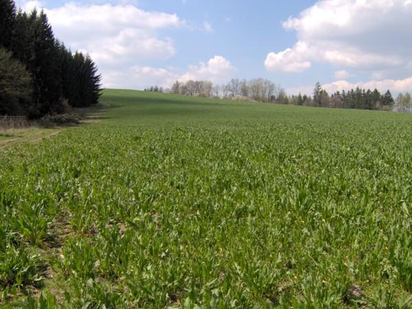 Jarní obrůstání krmného šťovíku v devátém roce vegetace, foto 24.4.2008