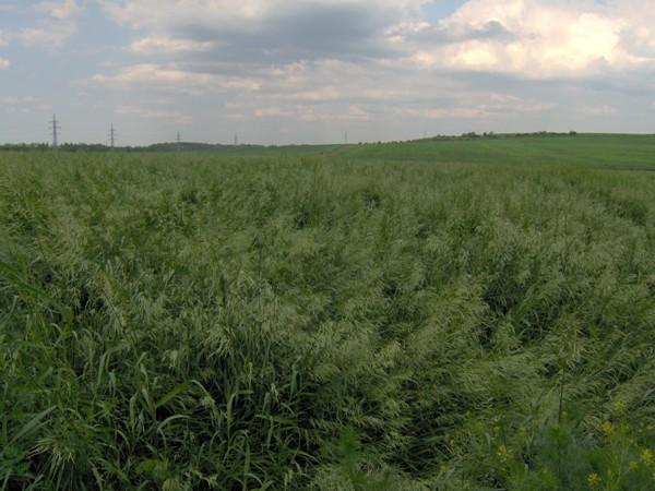 Sveřep bezbranný ve třetím roce vegetace, foto 5.6.2008