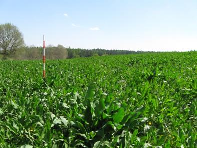 Krmný šťovík 28. 4. 2009 desátém roce vegetace