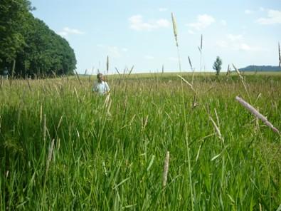 Lesknice rákosovitá 30. 6. 2008 ve čtvrtém roce vegetace