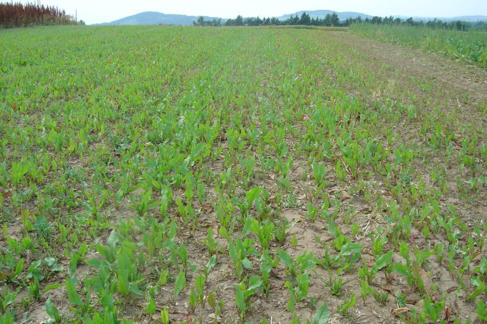 Nově založený porost šťovíku krmného postupně sklízeného na zelené krmení