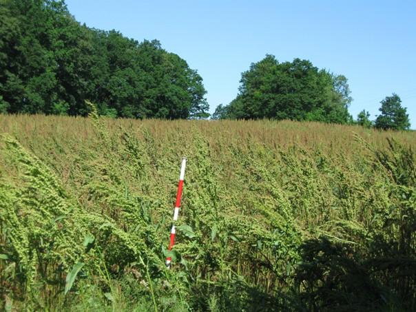 Porost krmného šťovíku ve stádiu vhodném pro sklizeň na siláž k využití v BPS
