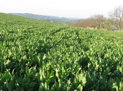 Lesknice rákosovitá 12.4. 09 ve čtvrtém roce vegetace