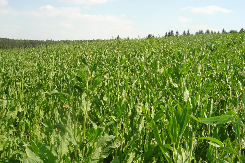 Porost krmného šťovíku v sedmém roce vegetace