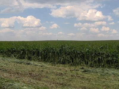 Krmný šťovík – sklizeň na senáž 10.5.2008