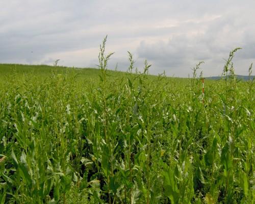 Krmný šťovík 26.5.2008,výška porostu 195 cm