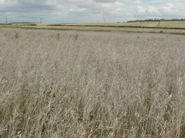 Hořčice sareptská -  před sklizní, červenec 2007