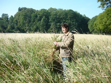 Lesknice rákosovitá- před sklizní, září 2009
