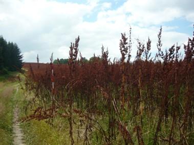 Rumex OK 2 - Krmný šťovík v devátém roce vegetace, před sklizní dne 4.7.2008