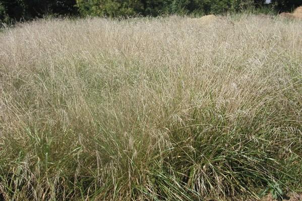 Kostřava rákosovitá – porost v době plné zralosti semen v srpnu