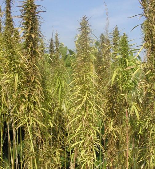 Porost konopí v době plné zralosti semen