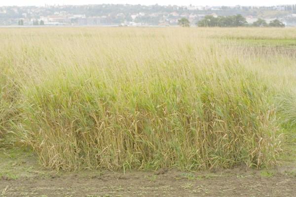 Stav porostu lesknice rákosovité koncem října